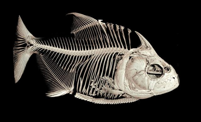 Tomografia  scheletro di un piranha Serrasalmus medinai. All'interno i resti di una preda (fonte: University of Washington)